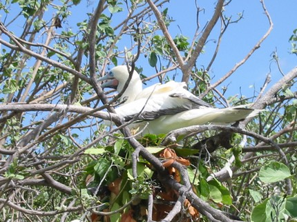 A002 Belize Red Footed Booby.JPG