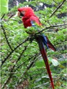 A133 Amazon Jungle Scarlet Macaw