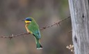 Blue-breasted Bee-eater 2